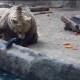 Самый великодушный медведь в мире спасает тонущую ворону