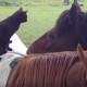 Кот верхом на лошади, такого вы еще не видели!