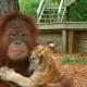 Самка орангутанга усыновила тигрят. Вот, что значит быть настоящей мамой!