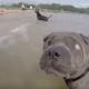 Слепая собака, которая чувствует себя самой счастливой на земле!