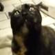 Кот шаман издает необыкновенные звуки. Такого от кота вы еще никогда не слышали!