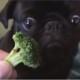 Щенок чихуахуа обожает брокколи. Его что, месяц не кормили?