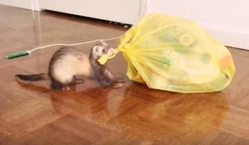 Самые аккуратные хорьки в мире любят выносить мусор
