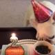 Вы только посмотрите, как этот французский бульдог празднует свой День Рождения!