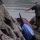 Касатка застряла в камнях во время отлива. Но нашлись смельчаки, которые ее спасли