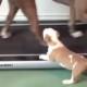 Милый щенок питбуля занимается фитнесом