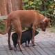 Маленький поросенок ищет защиты у большой собаки. Но как смешно он это делает!