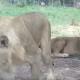 Они наблюдали за львами из машины, но тут произошло что-то страшное!
