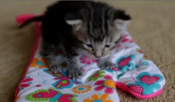 Маленький котенок нашел кухонную перчатку и вот, что он с ней сделал
