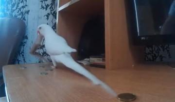 Попугай решил ограбить хозяина. Такого вы еще не видели!