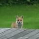 Вы когда-нибудь слышали, как лает расстроенная лиса?