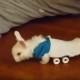 Инвалидная коляска для парализованного кролика