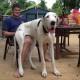 Эти большие собаки думают, что они маленькие щенки :)