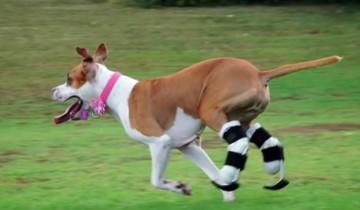 Как собака-инвалид вернулась к прежней жизни?