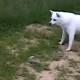 Собака хотела подружиться со скунсом, но тот ее неправильно понял
