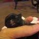 Вы только посмотрите, как самка мопса ухаживает за новорожденным щенком!
