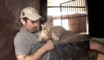 Этот человек играет с маленькими львятами. Реакция мамы-львицы просто поражает!