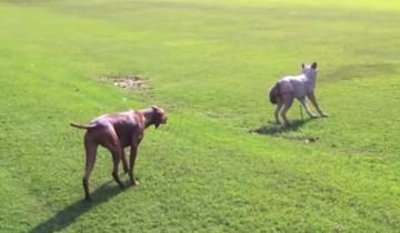 Собака думает, что видит волка. Ее реакция неподражаема!