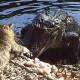 Кот против крокодила. Это что-то невероятное!