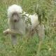 Удивительный белый павиан: редчайшие кадры!