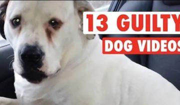 13 нашкодивших собак, которые не чувствуют своей вины