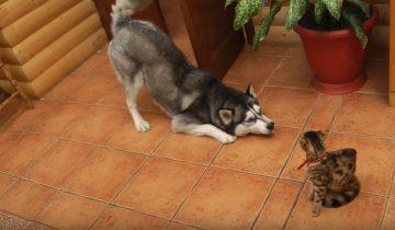 Хаски знакомится с бенгальской кошкой