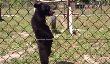 Медведь с человеческой походкой. Это удивительно!
