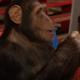 Этой обезьяне показали фокус с планшетом. Ее реакция поражает!