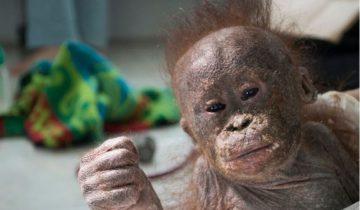 Маленький орангутанг умирал в картонной коробке, пока не произошло это…