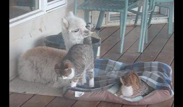 Детеныш альпаки думает, что он котенок