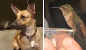 Эта маленькая птичка отказывается бросать собаку, которая спасла ей жизнь