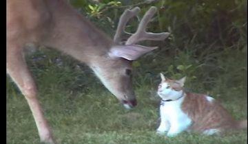Кошка отправилась на охоту, но на такую добычу она не рассчитывала!