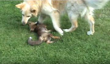Лисенок играет с собаками. Это невероятно!
