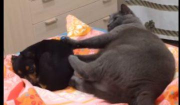 Кошке не по душе ее новый сосед!
