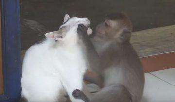 Обезьяны донимают кошек