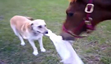 Собаке понравилось дразнить лошадку. Очень неожиданный поворот