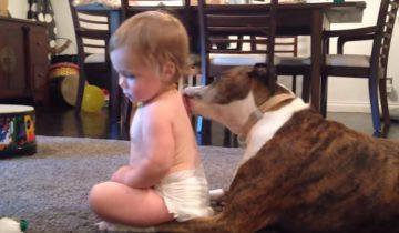 Забавное видео о том, как собака лижет спинку ребенку