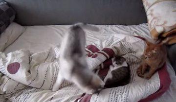 Интересные взаимоотношения между кошкой и собакой