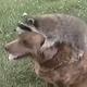 Енот забавно играет с собакой