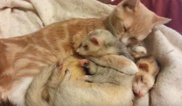 Мама-кошка моет хорьков, как своих котят
