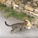 Когда вы увидите, что тащит эта кошка, вы умрете со смеха!