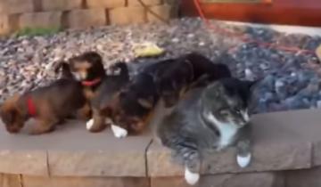 Маленькие щенки хотят поиграть. Что же будет делать кошка?