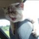 Первый раз в машине. Что происходит с этой кошкой?