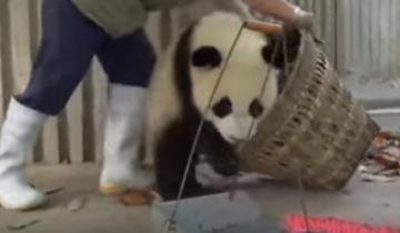 Панды отнимают корзину от сотрудницы зоопарка