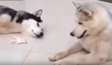 Пес делится куриной лапкой со своим товарищем!