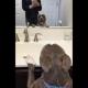 Питбуль поет для своего отражения в зеркале