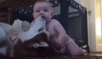Хаски старался быть невозмутимым, но все-таки не устоял перед малышом