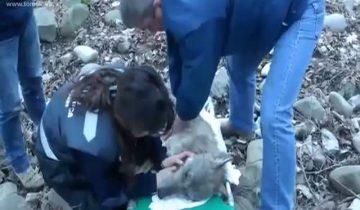 Раненого волка вытащили из ледяной воды