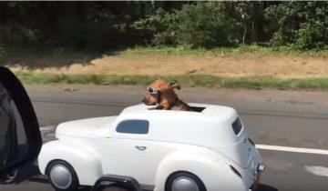 Первая в мире собака, у которой есть собственная машина!