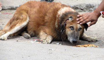 Тяжело раненная собака могла бы умереть, если бы не эти люди